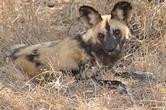 African Hunting Dog (stevelamb007) Tags: africa dog game season eyes wildlife reserve dry sabi sands africanhuntingdog huntingdog animlal
