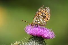 a very tatty dark green fritillary (oetrope) Tags: butterfly scotland thistle worn fritillary