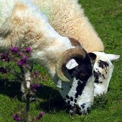 Ewe and lamb (tina negus) Tags: animal durham sheep lamb ewe teesdale balderdale waterknottfarm