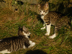 sisters (rospix+) Tags: uk cute nature animal wales cat fight kitten play july kittens playfight 2014 rospix miniaturekitten miniaturekittens