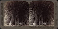 Grasses at whose feet men are like insects. Bamboos at Calcutta, India (Boston Public Library) Tags: bamboo botanicalgardens bostonpubliclibrary bpl stereographs photographicprints