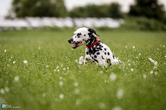 Dalmatian playing in the field (Dom Pilling) Tags: dog playing black field countryside tail country broadway ears running cotswolds vale spots spotty fetch dalmatian evesham pillingphotography