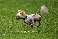 """LuLu Racing With The Wind For That FLAG • <a style=""""font-size:0.8em;"""" href=""""http://www.flickr.com/photos/96196263@N07/14696285468/"""" target=""""_blank"""">View on Flickr</a>"""