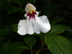 the arboretum in golden gate park, Impatiens Tinctoria from ethiopia (nolehace) Tags: sanfrancisco park summer flower golden gate arboretum bloom 614 nolehace fz35