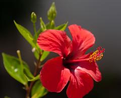 Red hibiscus (Carlos Javier Pérez) Tags: macro nikon flor hibiscus tamron tamron90mm gineceo redhibiscus estambres nikond90 androceo