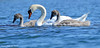 Mute swans (- Man from the North -) Tags: sea summer bird water birds finland swans muteswan ostrobothnia nikond7000 tamronsp150600mmf563divcusd