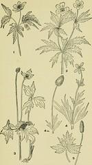 Anglų lietuvių žodynas. Žodis anemone riparia reiškia <li>Anemone riparia</li> lietuviškai.