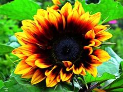 Sonnenblume (flieger1964) Tags: flower yellow germany deutschland sommer gelb sunflower blume garten hdr sonnenblume vogtland