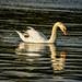 Swan Lake Photo, Swan Lake by Array (aka Array)