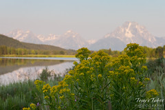 Wildflowers in the foreground with the Tetons in the background