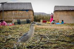 Night Heron (jakewchitty) Tags: lake bird peru heron reed titicaca water night islands beds cusco floating bolivia egret puno uro