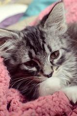 Contented (Casey Christi) Tags: pet baby cute animal cat 35mm nikon kitten feline sweet tabby adorable kitty aww kittycat babyanimal d7000 nikond7000