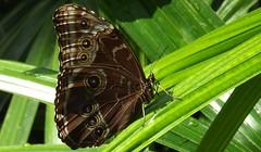 The Eyes Have It (ChicaD58) Tags: summer butterfly ngc npc bluemorpho callawaygardens photosandcalendar peleidesbluemorpho platinumheartaward 182a natureselegantshots thebestofmimamorsgroups greatshotss faunayfloradelmundo theoriginalgoldseal flickrsportal naturesplus cecilbdaybutterflycenbter