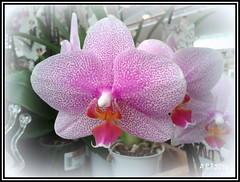 Orchid  ( Picasa ) (Alan B Thompson) Tags: 2014 flower samsung orchid picassa