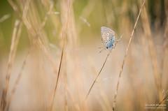 Matinal (Tintin44 - Sylvain Masson) Tags: pentax papillon t champ k5 argus matin rose tamron90 gramine