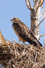 Young Swainson's Hawk in the nest