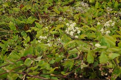 Eine Waldrebe (Cematis sp.); Vancouver (17a) (2) (Chironius) Tags: flower fleur blossom britishcolumbia flor clematis fiore blte ranunculaceae waldrebe blten weis  ranunculales  anemoneae hahnenfusgewchse ranunculoideae hahnenfusartige
