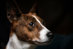 "9.12 Raisin ""Work of Art"" (jezandia) Tags: dog basenji raisin 12monthsfordogs14 littledoglaughedstories"