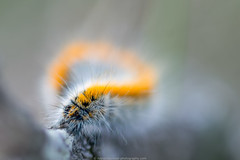 caterpillar (rups) (robvanderwaal) Tags: macro nature netherlands nederland natuur caterpillar rups larva 2014 larve larval rvdwaal robvanderwaalphotographycom