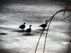 CINCINNATI, OHIO - SPRING GROVE CEMETERY** (gobucks2) Tags: cemeteries ice birds geese cincinnati wildlife lakes winters 2010 springgrovecemetery cincinnatiohio nationalhistoricallandmark winter2010 february2010