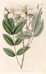 Musk Rose. Rosa moschata var. nivea. Sweetly fragrant, light pink to white, 2.5-3 inch flowers in clusters in spring or early summer.  Arching growth 7-10 feet tall. Can train as climber. Botanical Register, vol. 10-  (1824) [M. Hart] (Swallowtail Garden Seeds) Tags: flowers plants illustration vintage garden botanical gardening 19thcentury rosa illustrations pinkflower fragrant shrub nivea botany santarosa horticulture whiteflowers attribution vintagerose climbingrose floweringshrub vintageillustration climbingvine fragrantflowers muskrose vintageflowers botanicalillustration vintagegarden gardenillustration rosamoschata flowerillustration 19thcenturyillustration vintagebotanicalillustration swallowtailgardenseeds vintageplantillustration vintageplants 19thcenturybotanicalillustration 19thcenturyflowerillustration floweringshrubillustration climbingvineillustration botanicalflowerillustration vintageflowerillustrations botanyillustration vintageroseillustration shrubillustration vintageshrubillustration