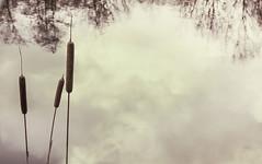 Shore Plant (KK_photographics) Tags: see wasser herbst natur gras ufer spiegelung spiegelbild halm grashalm natrlich