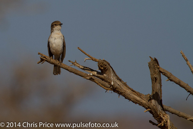 Marico Flycatcher, Madikwe Game Reserve