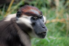 Cherry-crowned Mangabey (James L Taylor) Tags: