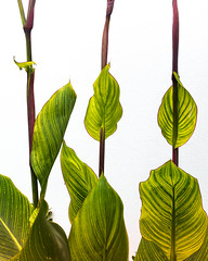 Three Amigos (Raggedjack1) Tags: variegatedleaves variegatedfoliage cannaindica indianshot achira greenandyellowleaves