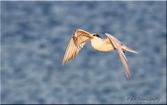 'toss & catch' (d-lilly) Tags: california canon flight montereycounty prey tern mosslanding eleganttern canon7d mosslanding2014