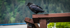 2014 - Juneau - Alaska Cruise - The Raven (Ted's photos - For Me & You) Tags: travel bird rain fence nikon beek bracket feathers juneau bolt raindrops cropped nut railing raven vignetting blackbird claws talons juneaualaska alaskacruise d600 nutbolt birdbeek tedsphotos nikonfx d600fx