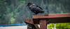 2014 - Juneau - Alaska Cruise - The Raven (Ted's photos - Returns Early June) Tags: travel bird rain fence nikon beek bracket feathers juneau bolt raindrops cropped nut railing raven vignetting blackbird claws talons juneaualaska alaskacruise d600 nutbolt birdbeek tedsphotos nikonfx d600fx