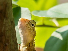 chameleon (Digital feather) Tags: lumix lizard chameleon macr sabeer reebas fz200