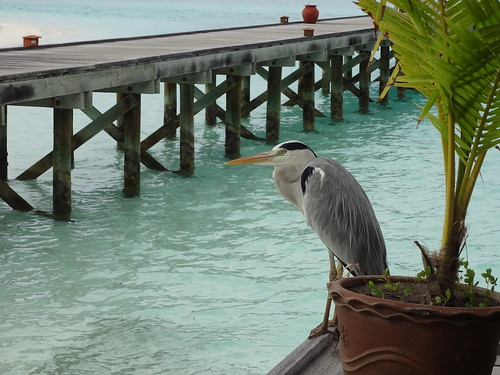 Heron from the Maldives