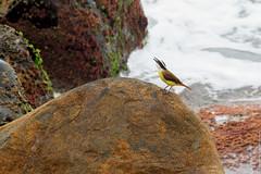 IMG_4525.jpg (M0nZDeRR) Tags: brazil bird animal bemtevi bentivi