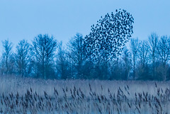 Starling murmuration (mollyblobs) Tags: deepinglakesnr february location lincolnshire unitedkingdom wildlifetrust bird murmuration reserve starling