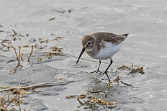 A Lovely Patch of Mud (David Badke) Tags: colwood bc bird