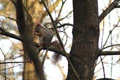 IMG_1982 (marianabmcruz) Tags: parquebiológicodegaia parquebiológico biologicalpark outdoors outdoor nature natureza animal animals fauna esquilo squirrel squirrels