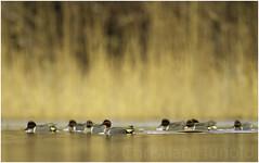 green-winged teal (Christian Hunold) Tags: greenwingedteal dabblingduck duck bird bokeh amerikanischekrickente johnheinznwr philadelphia christianhunold