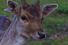 looking (Vincent Franchet) Tags: animalier daim 135mm f28 f56 pentacon poinçonnet