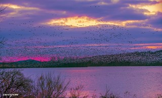 Snow Geese 01, Middle Creek, PA, USA