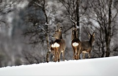 rådyr mars 2017 (KvikneFoto) Tags: rådyr roedeer winter vinter snø snow bokeh tamron nikon natur norge hedmark kvikne