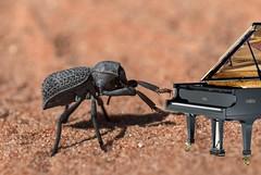 Death Feigning Beetle (S_Crews) Tags: insect nevada beetle mojavedesert arthropod coleoptera valleyoffirestatepark darklingbeetle clarkcounty tenebrionidae deathfeigningbeetle asbolus asbolusverrucosus northforkwash