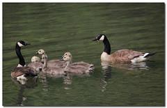 Shh...Quiet Kids! (Tustin Designs) Tags: nature june river wildlife goslings float canadageese 2014 southwesternpa dailynaturetnc12