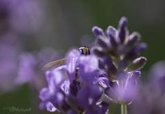 Peek-a-boo in the Lavender (Shastajak) Tags: bokeh lavender hoverfly k3 smcpentaxdfa128100mmmacro pentaxk3