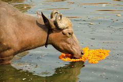 Varanasi Buffalo eat flowers (Dick Verton ( more than 13.000.000 visitors )) Tags: travel flowers india water river cow asia eating varanasi ganges dickverton