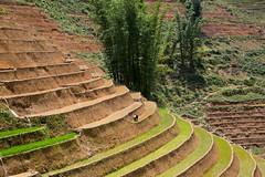 Farmer Planting Rice in Sapa (ynaka29) Tags: mountain rice vietnam farmer ricefields sapa terracedricefields