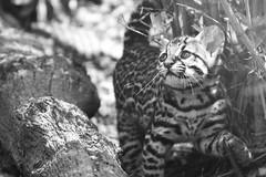 Baby Ocelot B&W 2 (castorssito) Tags: nature zoo nikon felinos felino felines bigcats ocelot nikond3200 ocelote zoochapultepec babyocelot bebeocelote