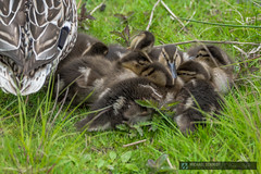 2014-05-19 Vancouver Devonian Park Mother and Mallard Ducklings-3 (Michael Schmidt Photography Vancouver) Tags: park family sleeping baby brown white black cute green bird water grass yellow closeup botanical grey beige many flock group duckling mother adorable chick newborn wetlands migratory resting waterfowl common cuddling vancouverbc coalharbour huddle fledgling pictureperfect laying adaptable brood hatchling dabbler huddled omnivorous brothersandsisters gregarious dabblingduck mediumsized widerange devonianpark mallardduckanasplatyrhynchos wildduckanasplatyrhynchos michaelschmidtphotographyvancouverbc wwwmichaelschmidtphotographycom httpwwwflickrcomphotosdmichaelschmidtsets dmschmidtshawca httpswwwfacebookcommsphotographyvancouver httpswwwthisiswhatiseeca michaelmspixca salesmspixca httpsplusgooglecomb115575222591610367933115575222591610367933posts httpstwittercommspixvancouver