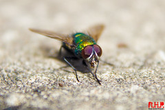 Fly (Richard Hayward Photography) Tags: uk blur color colour macro beautiful up closeup canon wonderful insect manchester photography eos weird fly photo compound wings eyes close image zoom bokeh alien picture blurred photograph richard hd hayward 1855mm hq raynox 600d canoneos600d richardhaywardphotography